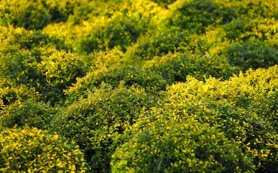 Buxus microphylla Faulkner(bahçeniz için bitkiler)