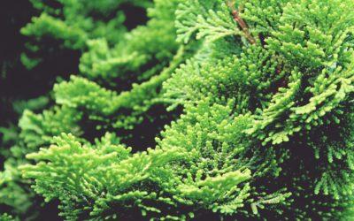 Cupressocyparis leylandii verde (piante per il tuo giardino)