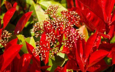 Photinia Red Robin (Piante per il tuo giardino)