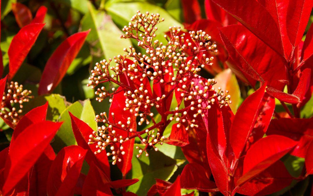 Photinia Red Robin (Növények a kertedbe)