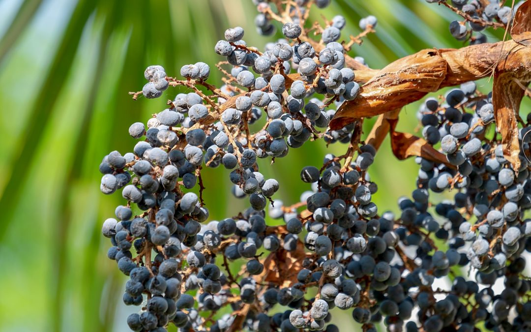 Chamaerops excelsa – Trachicarpus fortunei (Piante da giardino)