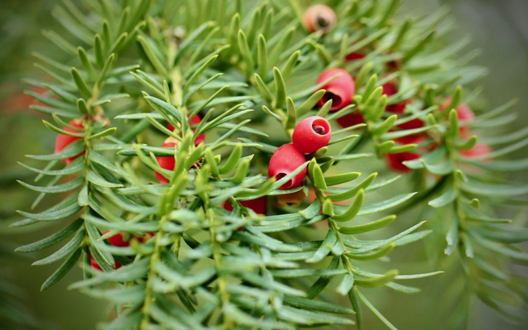 Taxus baccata – Taxus x media Hilli (Piante da giardino)
